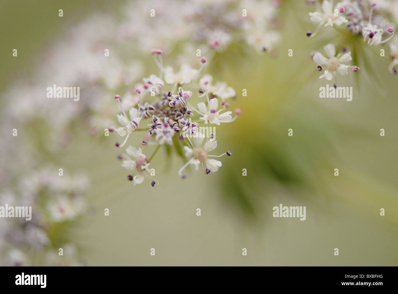 Close-up of Queen Anne's lace flowers - Daucus carota - Stock Image