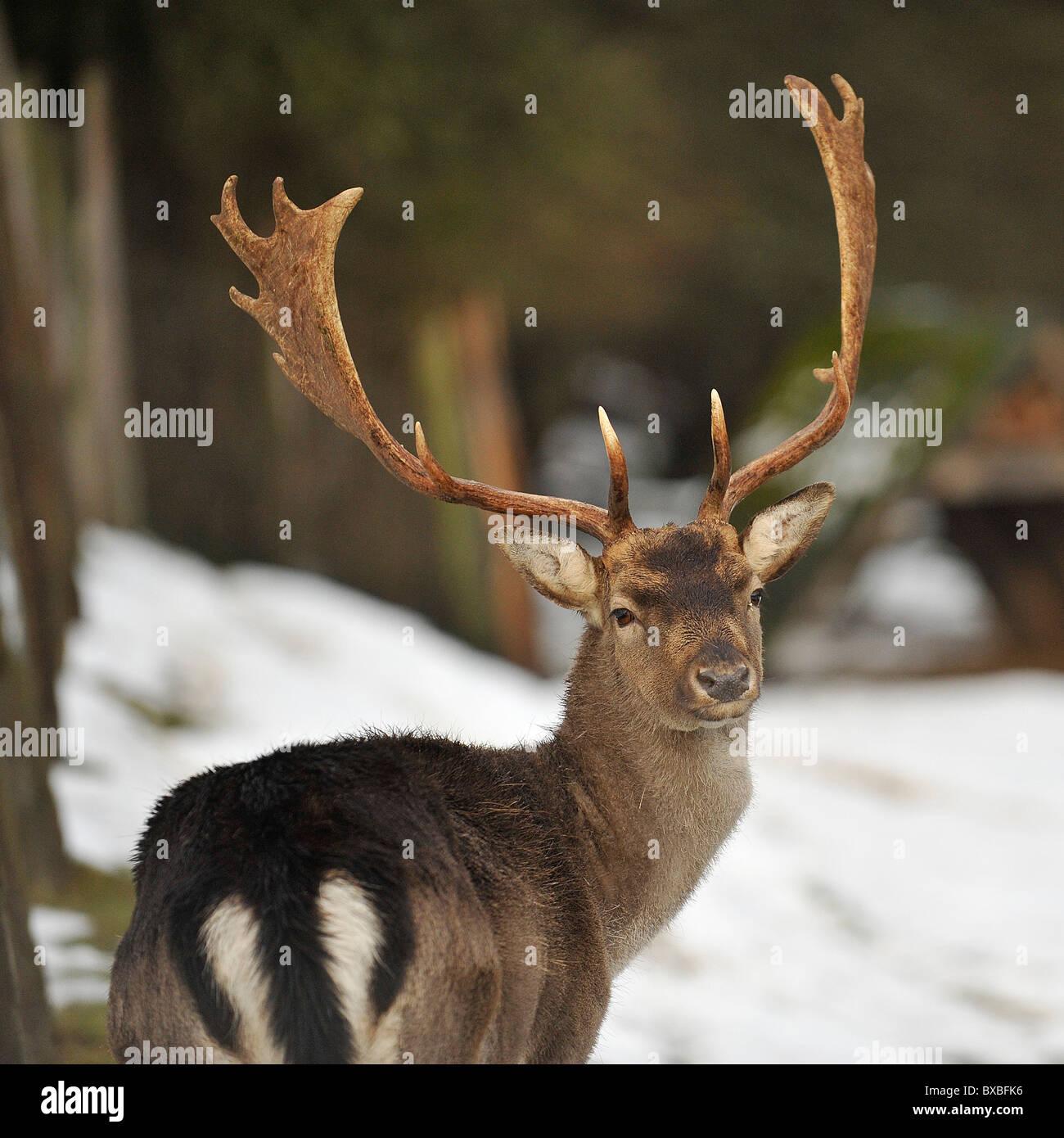 fallow deer  buck male in snow - Stock Image
