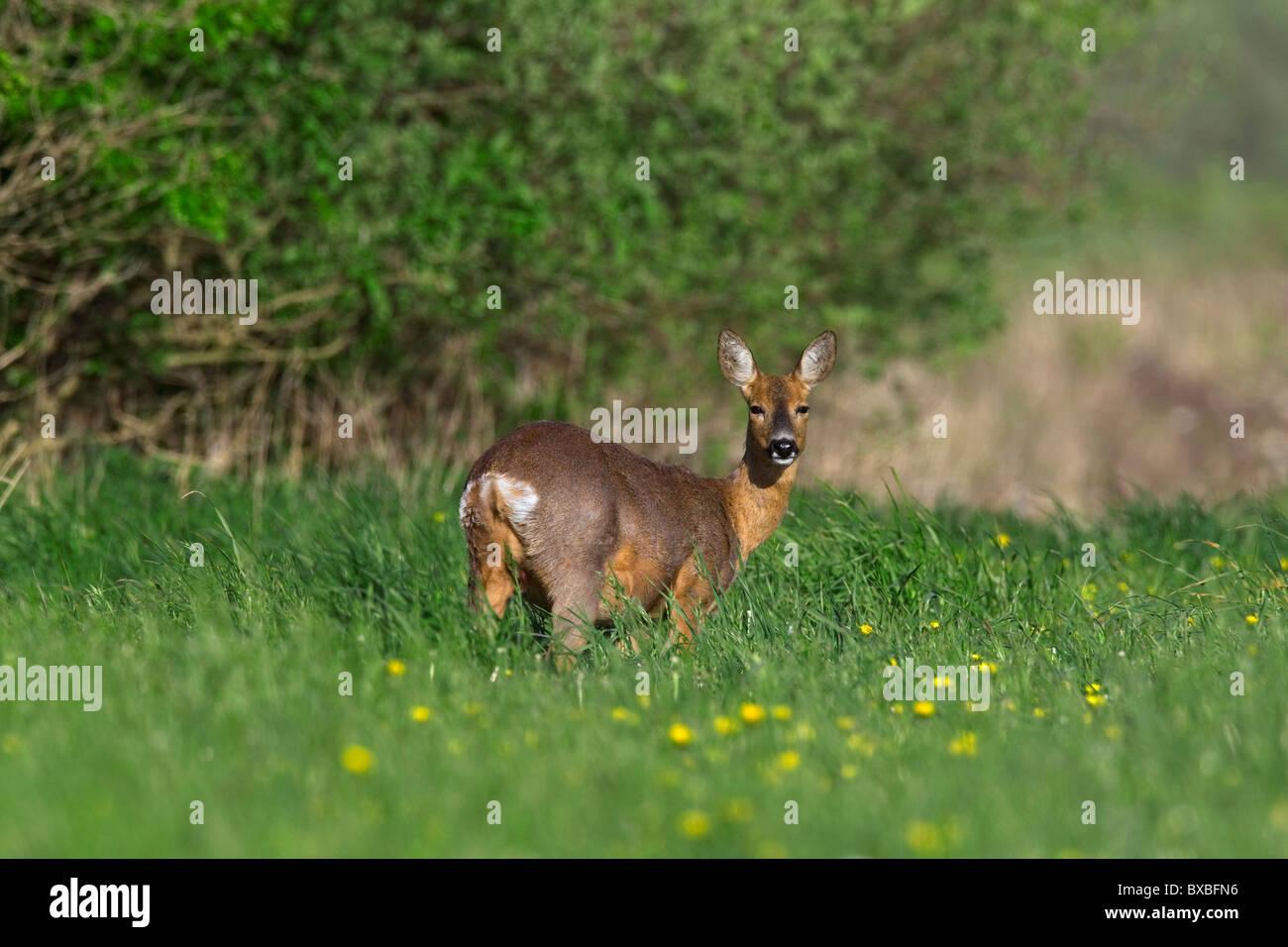 Roe deer (Capreolus capreolus) in meadow, Europe - Stock Image
