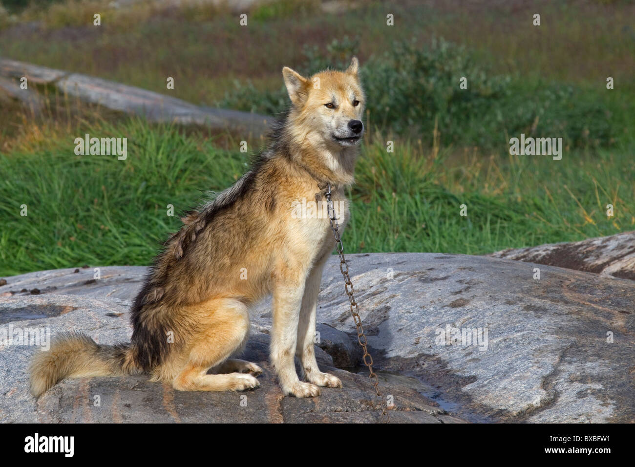Greenland dog (Canis lupus familiaris), sledge dog, Ilulissat, West-Greenland, Greenland - Stock Image