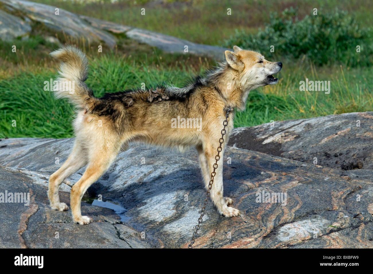 Greenland dog (Canis lupus familiaris), sledge dog howling, Ilulissat, West-Greenland, Greenland - Stock Image