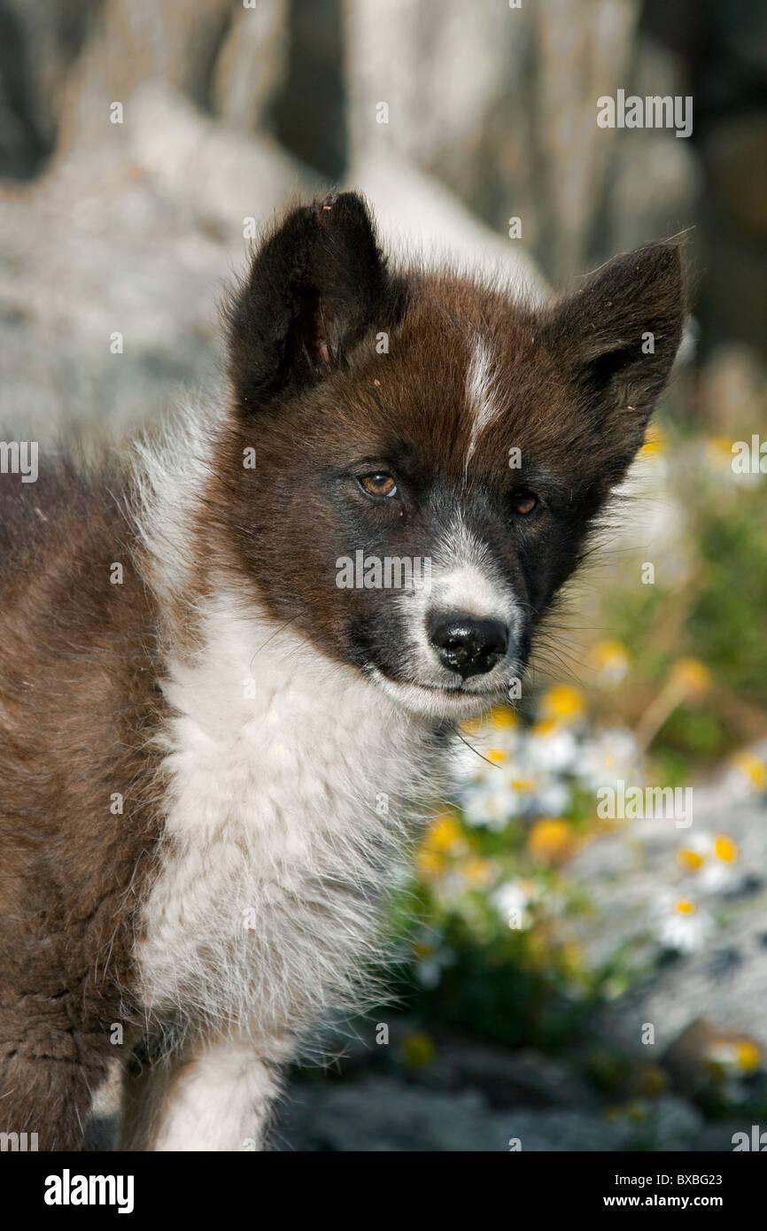Greenland dog (Canis lupus familiaris), sledge dog pup, Ilulissat, West-Greenland, Greenland - Stock Image