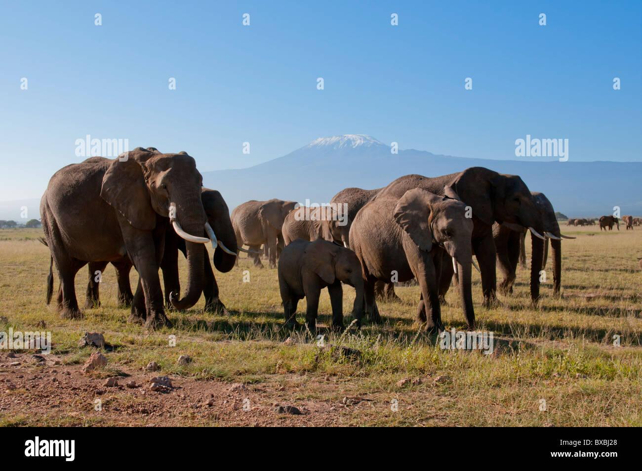 Kenya, Amboseli, Kilimanjaro, elephant herd - Stock Image