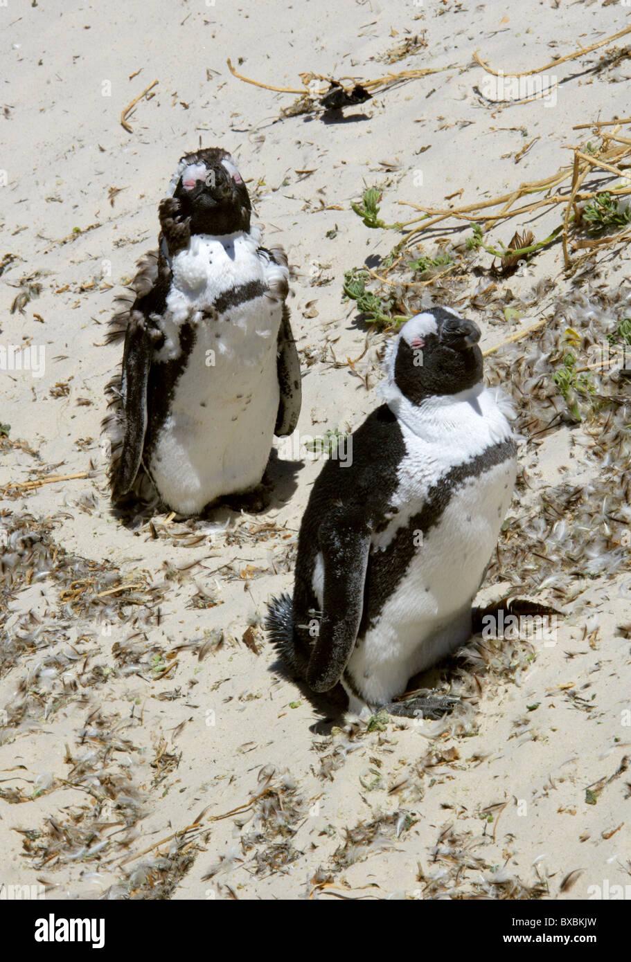 Moulting African, Black-footed or Jackass Penguins, Spheniscus demersus, Spheniscidae. Boulders Bay, Cape Peninsular. - Stock Image