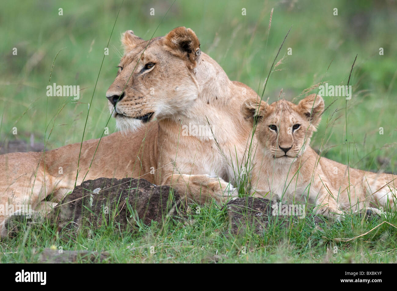 African Lioness and Cubs Stock Photo