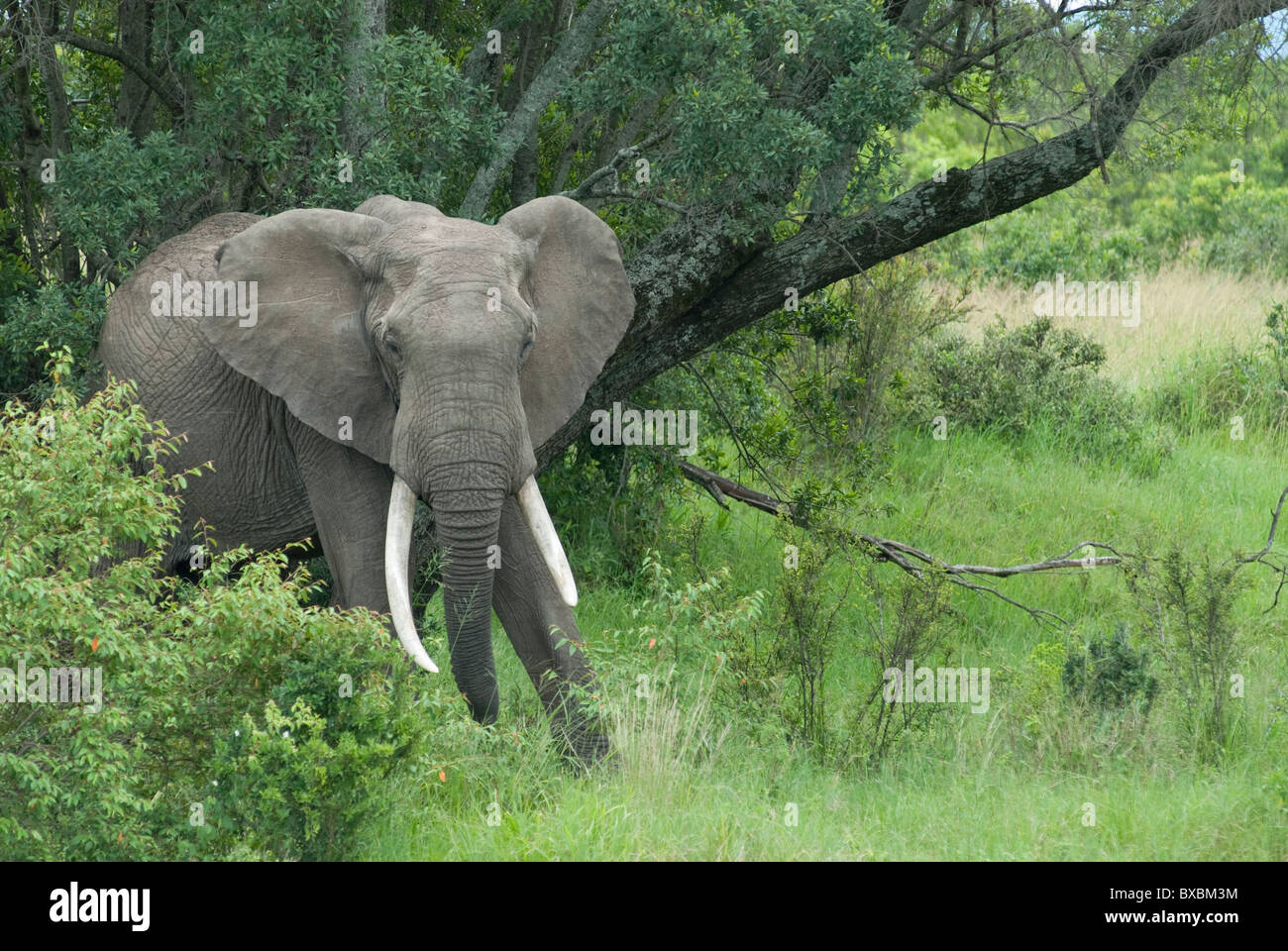 African Bull Elephant Stock Photo