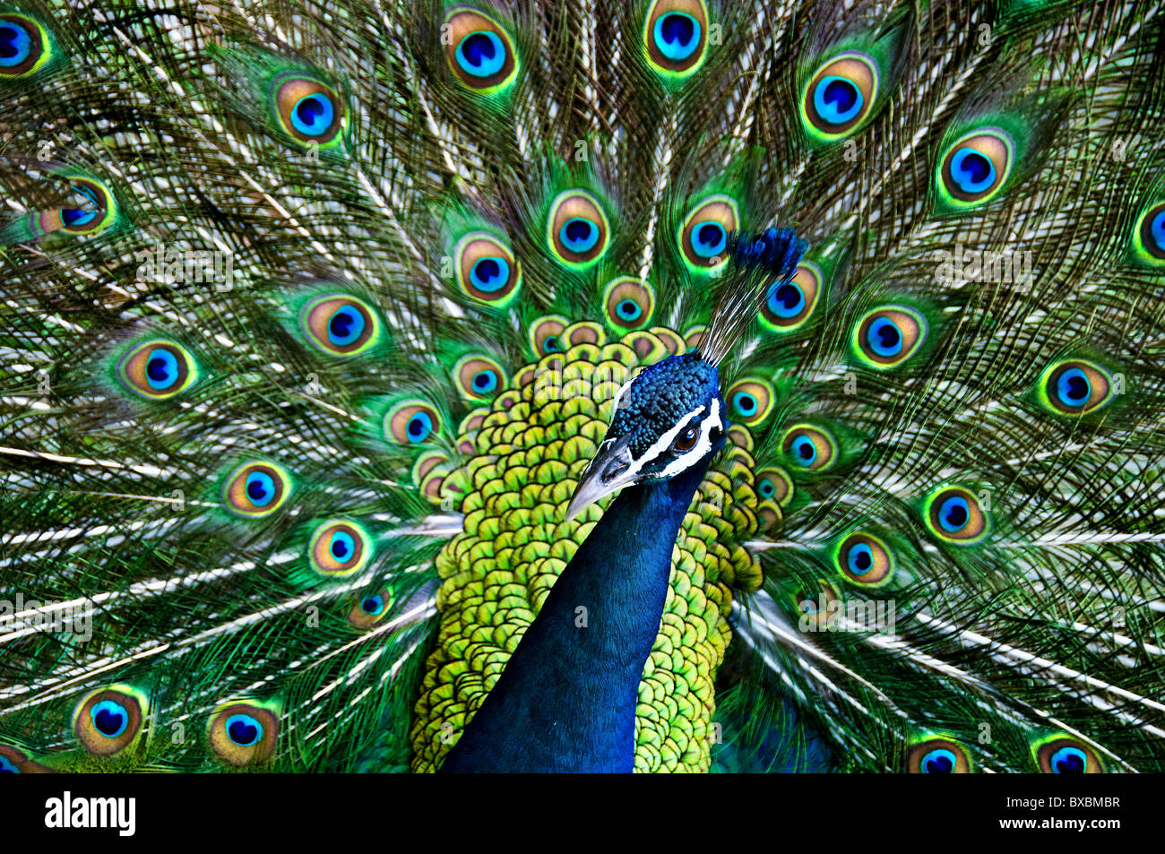 A peacock displaying it's plumage. - Stock Image