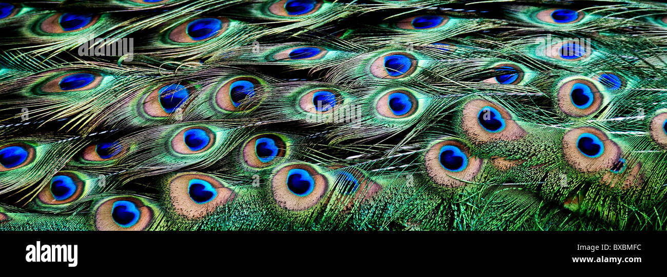 The plumage of a peacock. - Stock Image