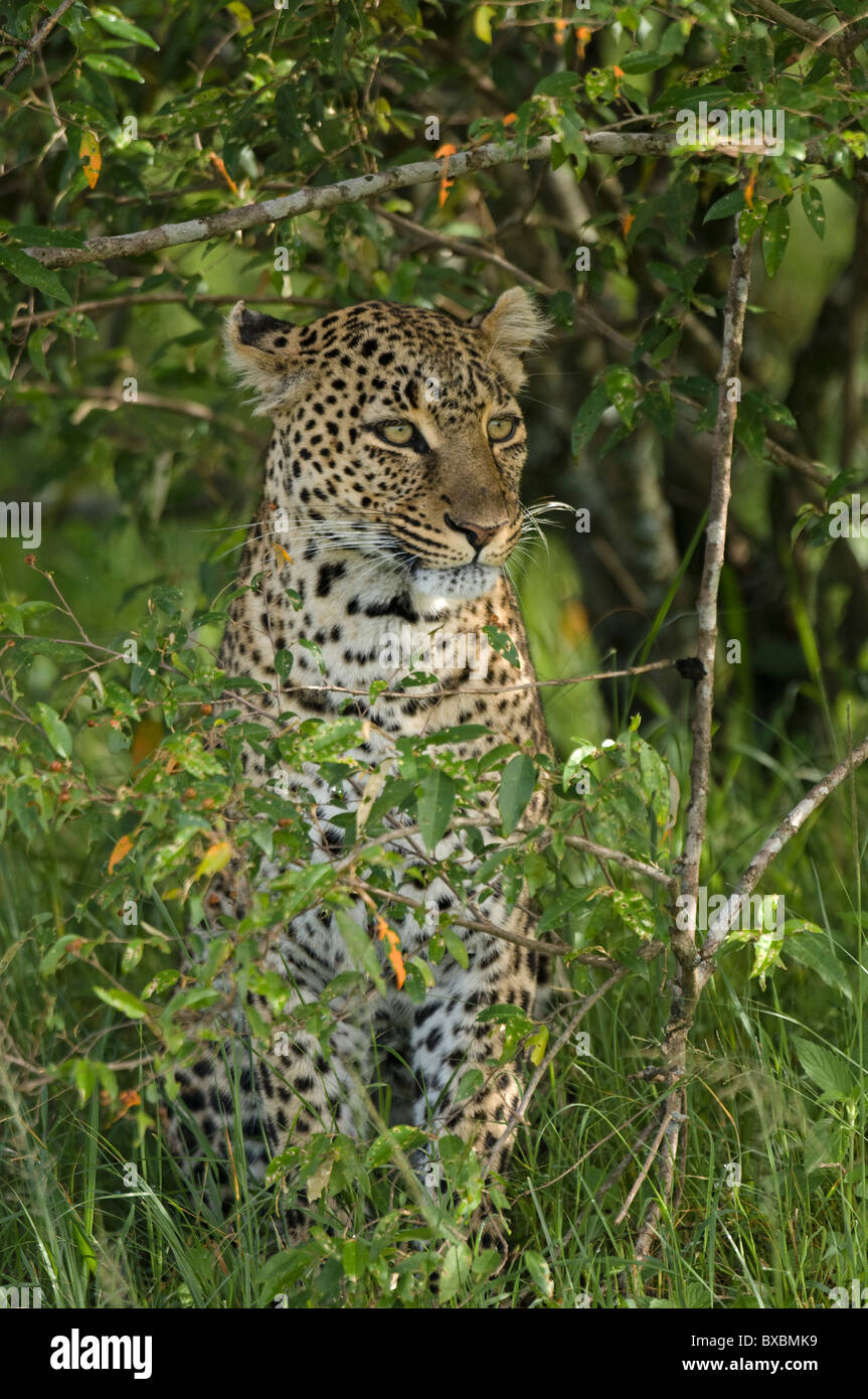 African Leopard in cover Stock Photo