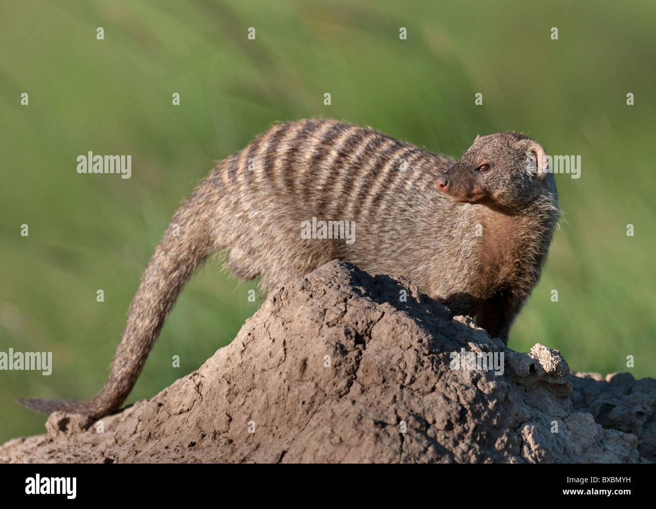 Banded Mongoose on Termite Mound Stock Photo