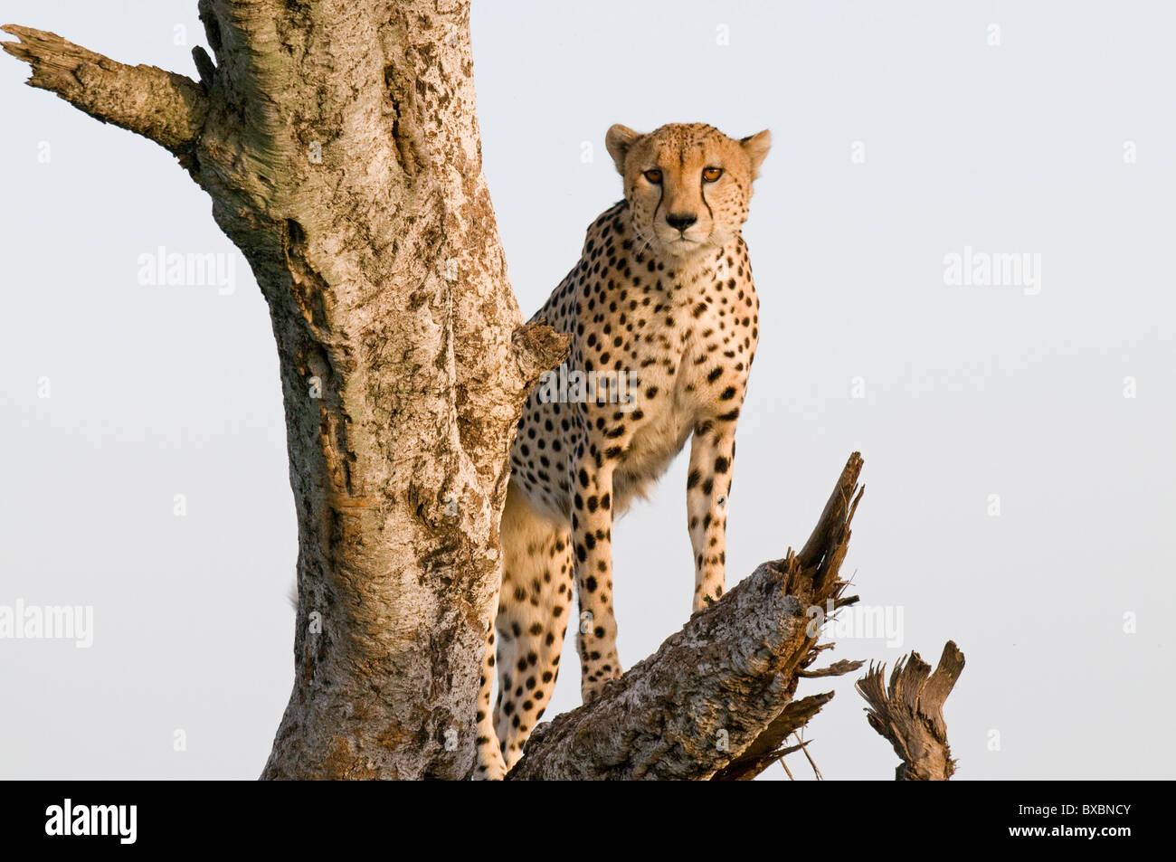 Cheetah - Stock Image