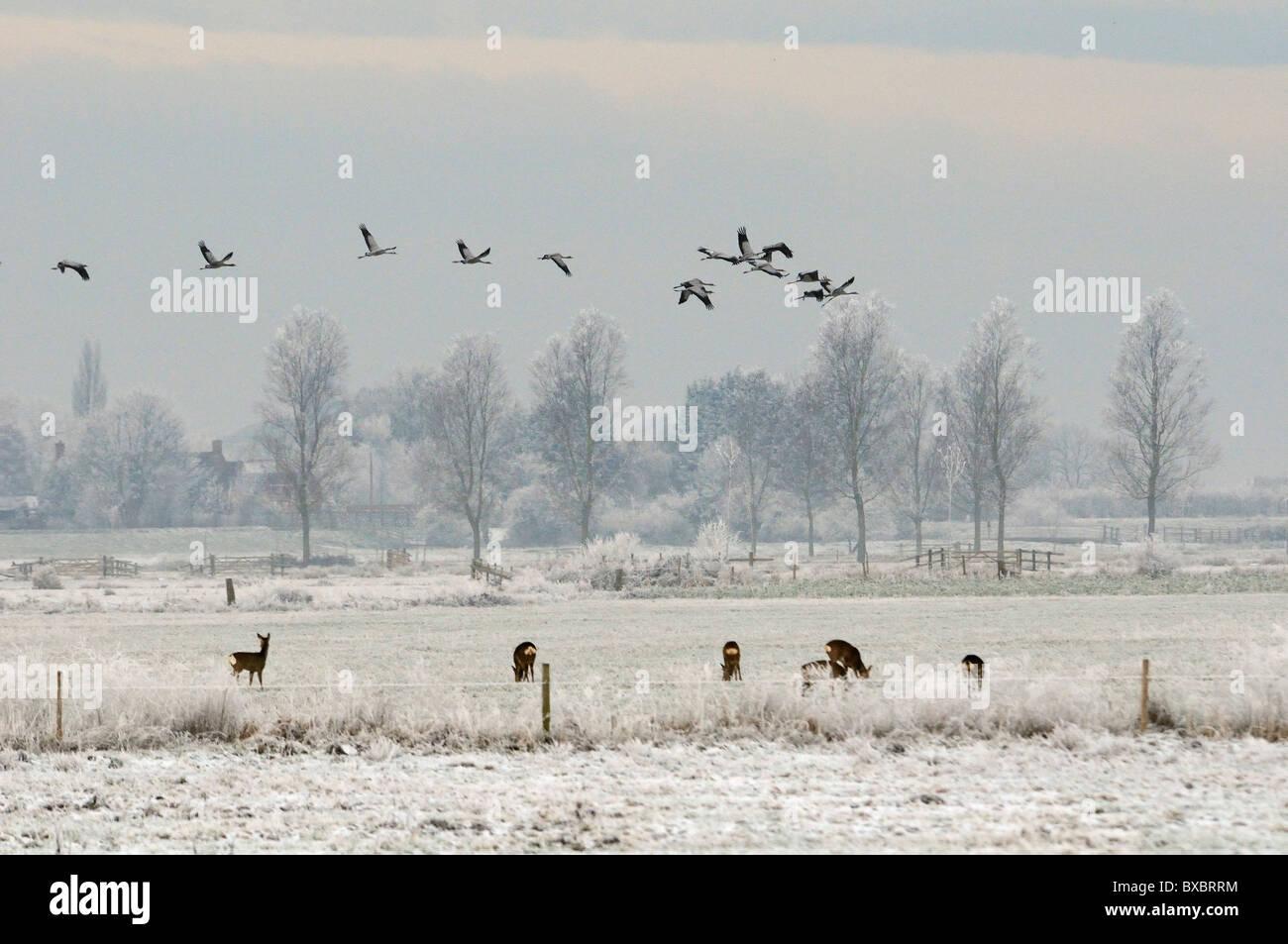 Flock of Juvenile Common / Eurasian cranes (Grus grus) flying over snowy pastureland and grazing Roe deer (Capreolus - Stock Image