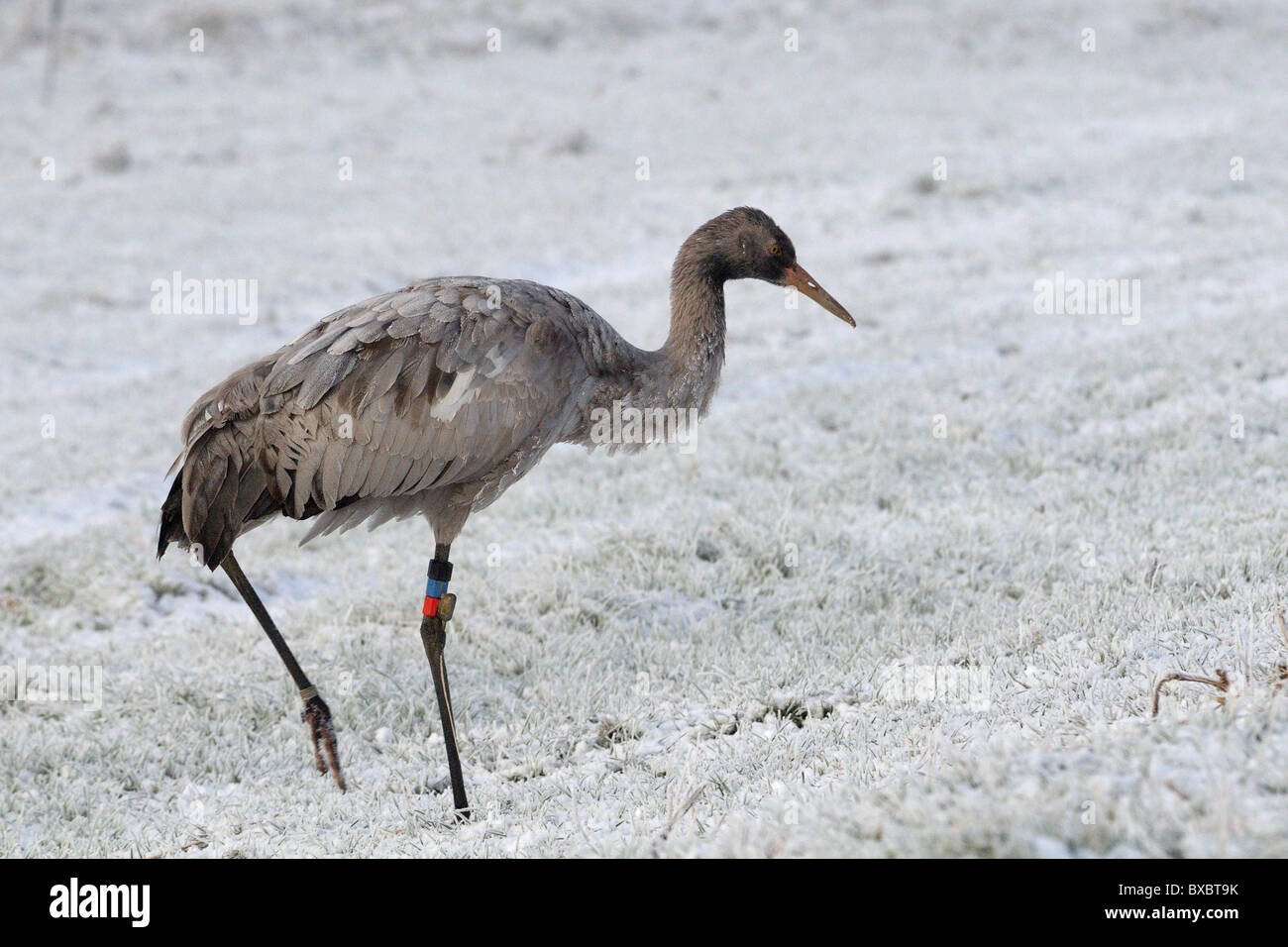 Juvenile Common / Eurasian crane (Grus grus) with hoar-frosted feathers, walks on frozen snow covered pastureland. - Stock Image