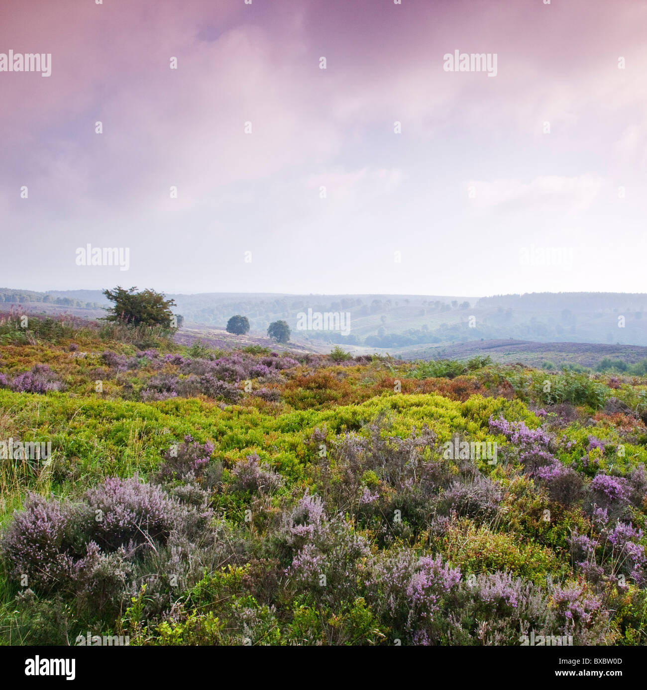 Heather Bilbury Heathland in late summer Cannock Chase Country Park AONB (area of outstanding natural beauty) - Stock Image