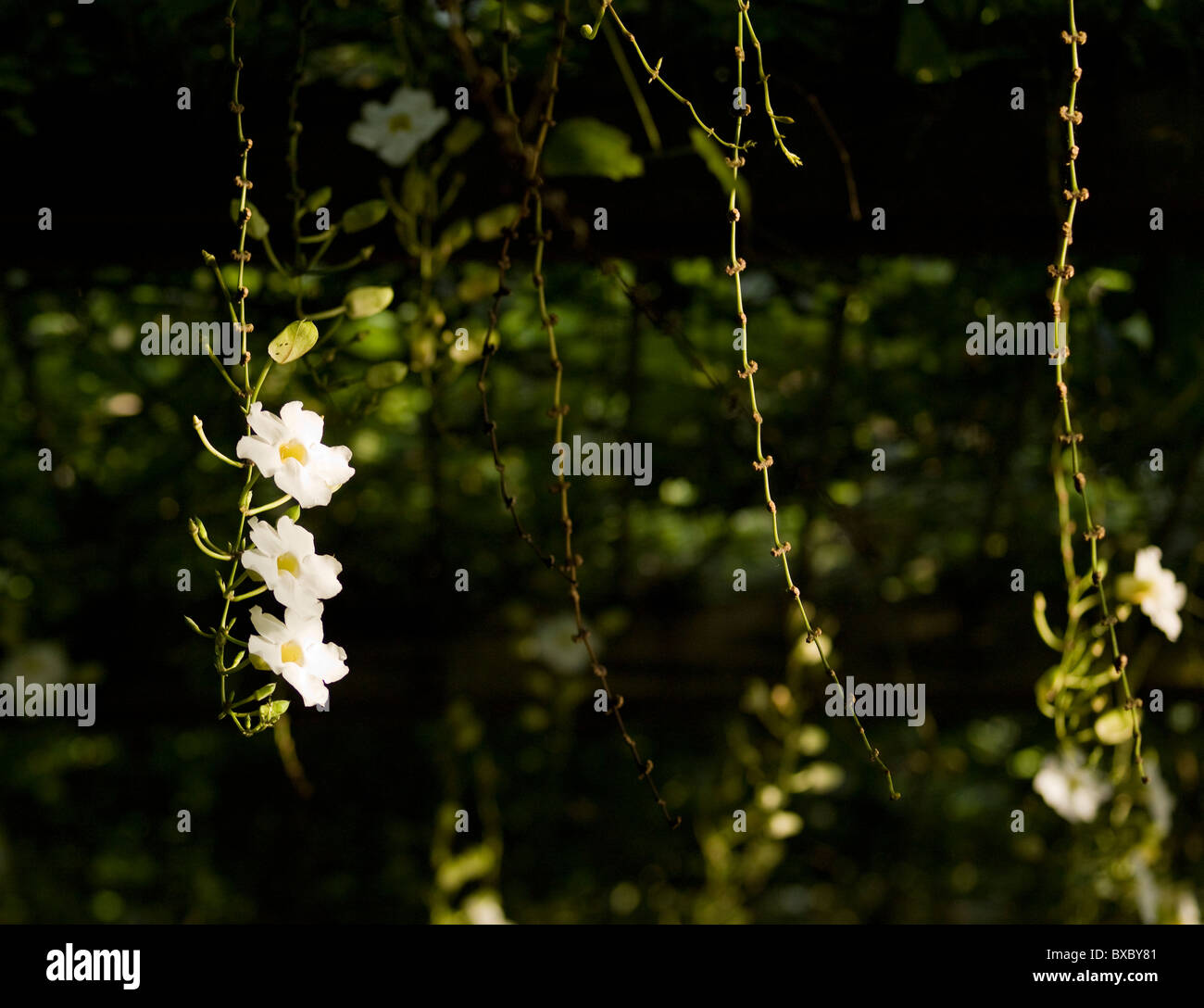 White flowers and vines in bali stock photo 33454289 alamy white flowers and vines in bali mightylinksfo