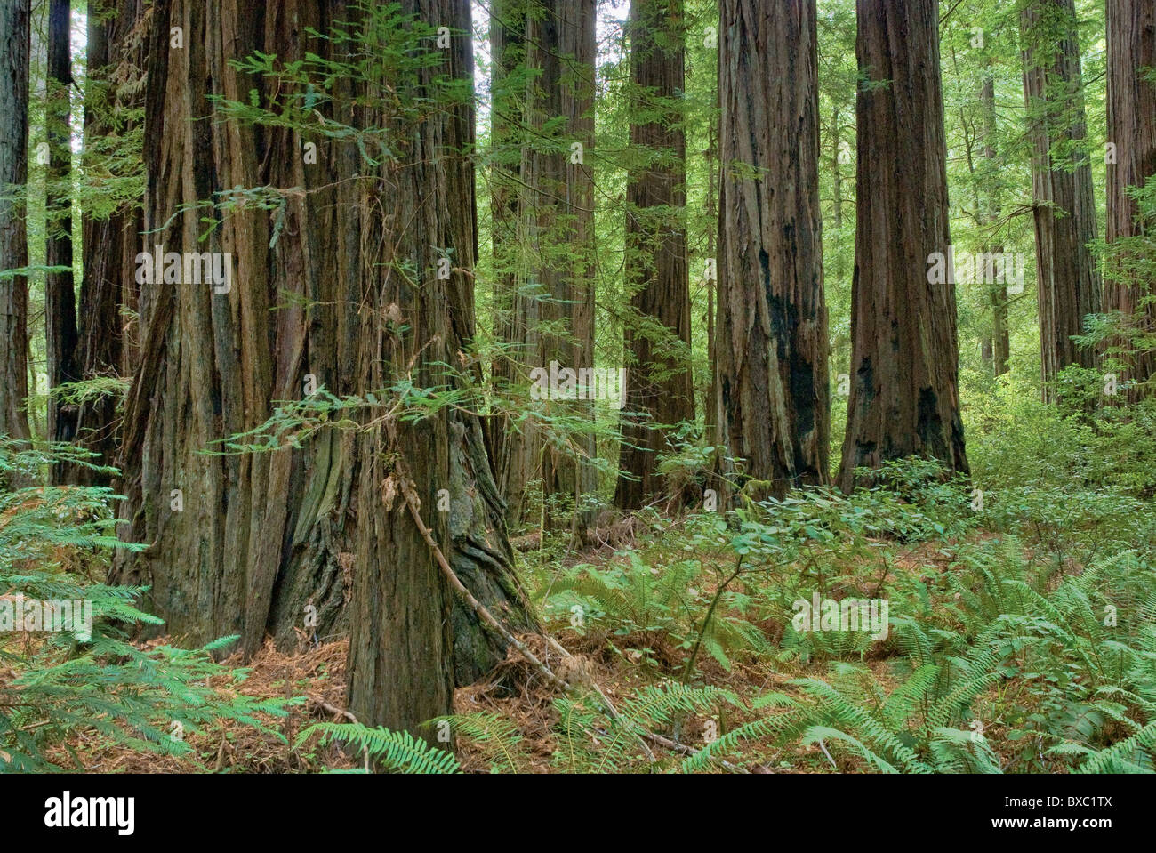 Redwood trees at Rockefeller Forest at Humboldt Redwoods State Park near Albee Creek campground, California, USA - Stock Image