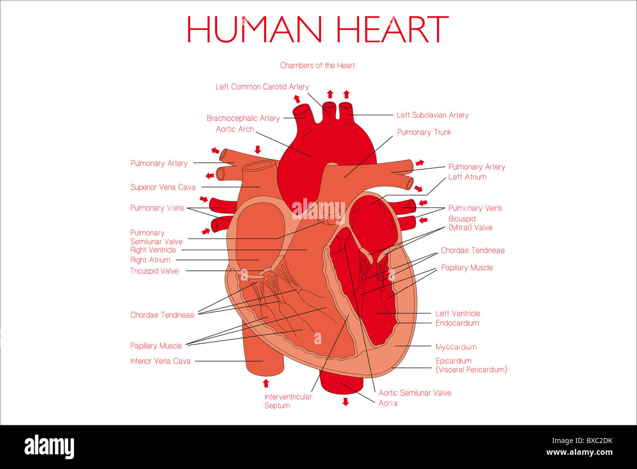 Human heart illustration with descriptions Stock Photo