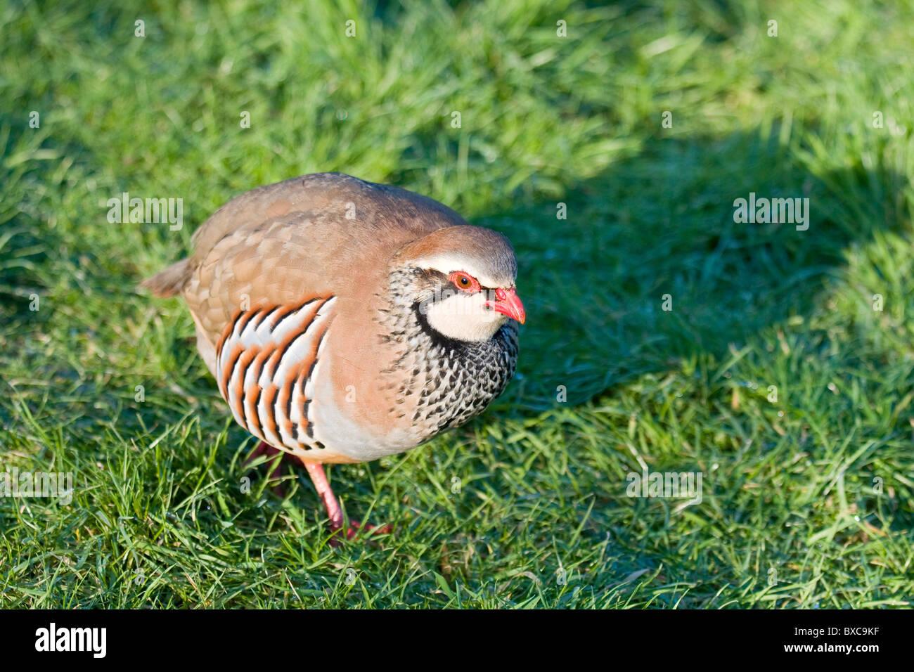 Red-Legged Partridge on Garden Lawn - Stock Image