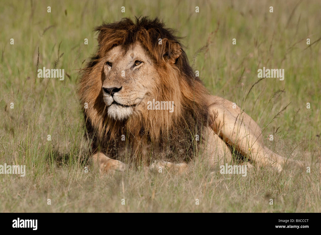 African Male Lion Stock Photo