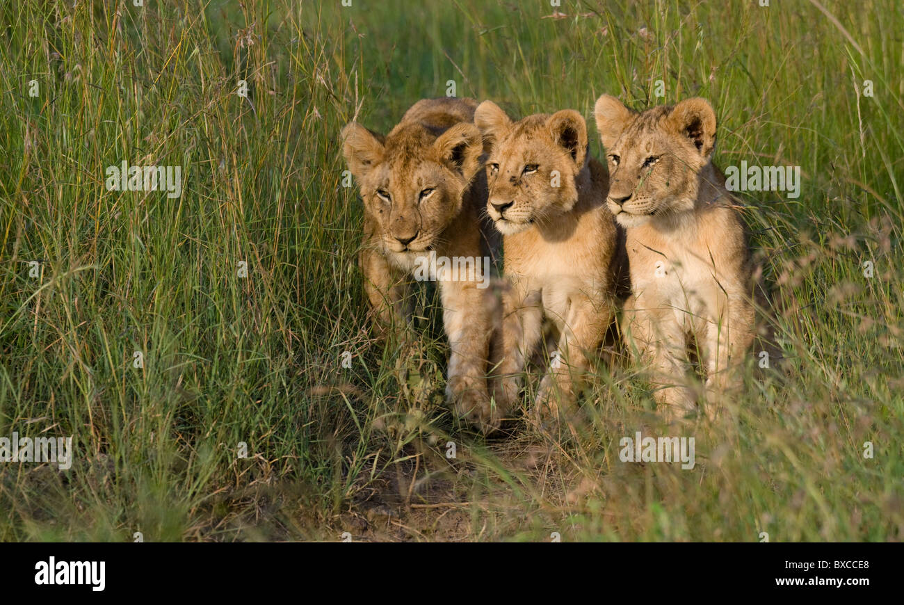 African Lion cubs in the Masai Mara Stock Photo