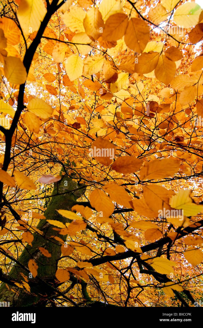 Beech tree in Autumn Stock Photo