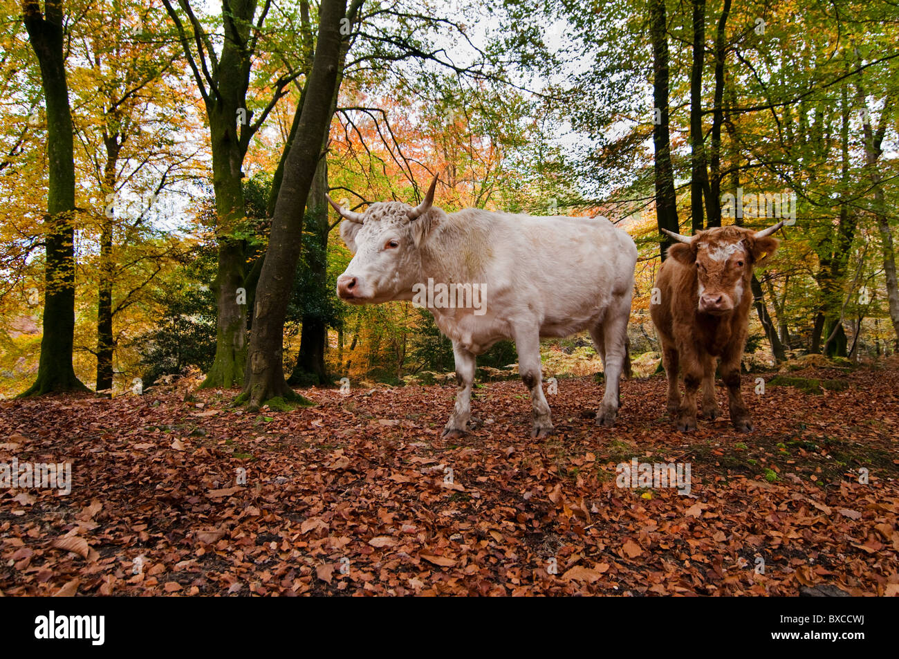 New Forest Cattle out to Pannage Stock Photo