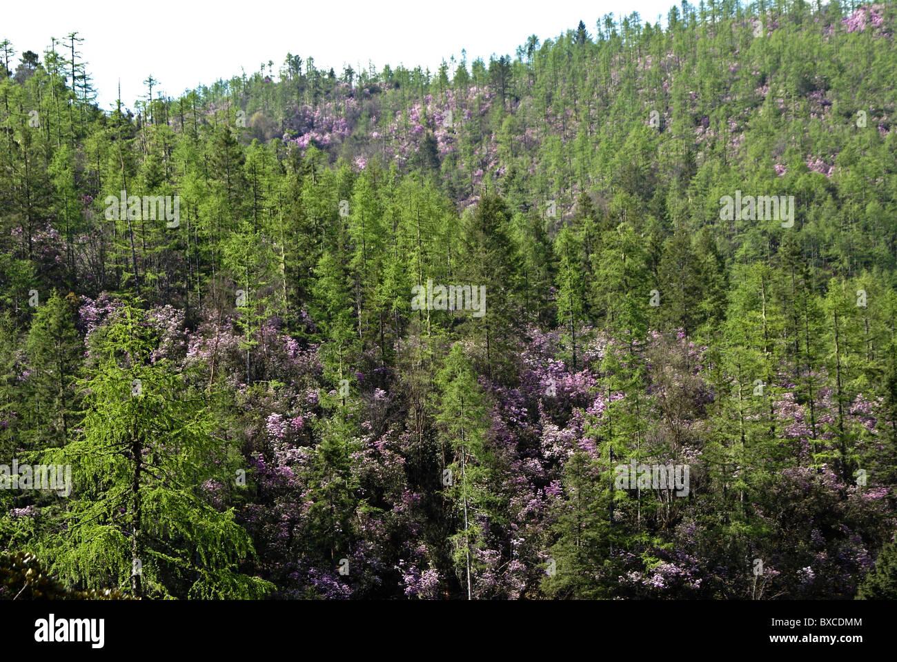 Evergreens and blooming rhododendron, Shangri-la, Yunnan, China - Stock Image