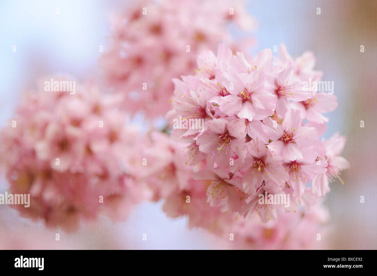 Flowering Cherry Tree Uk Stock Photos Flowering Cherry Tree Uk