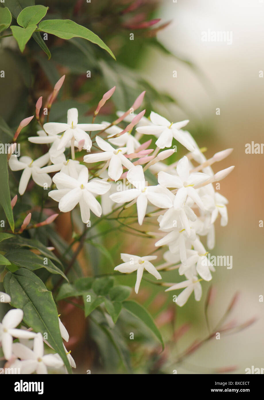 Small white scented flowers stock photos small white scented the delicate white flowers of jasminum polyanthum pink jasmine stock image mightylinksfo