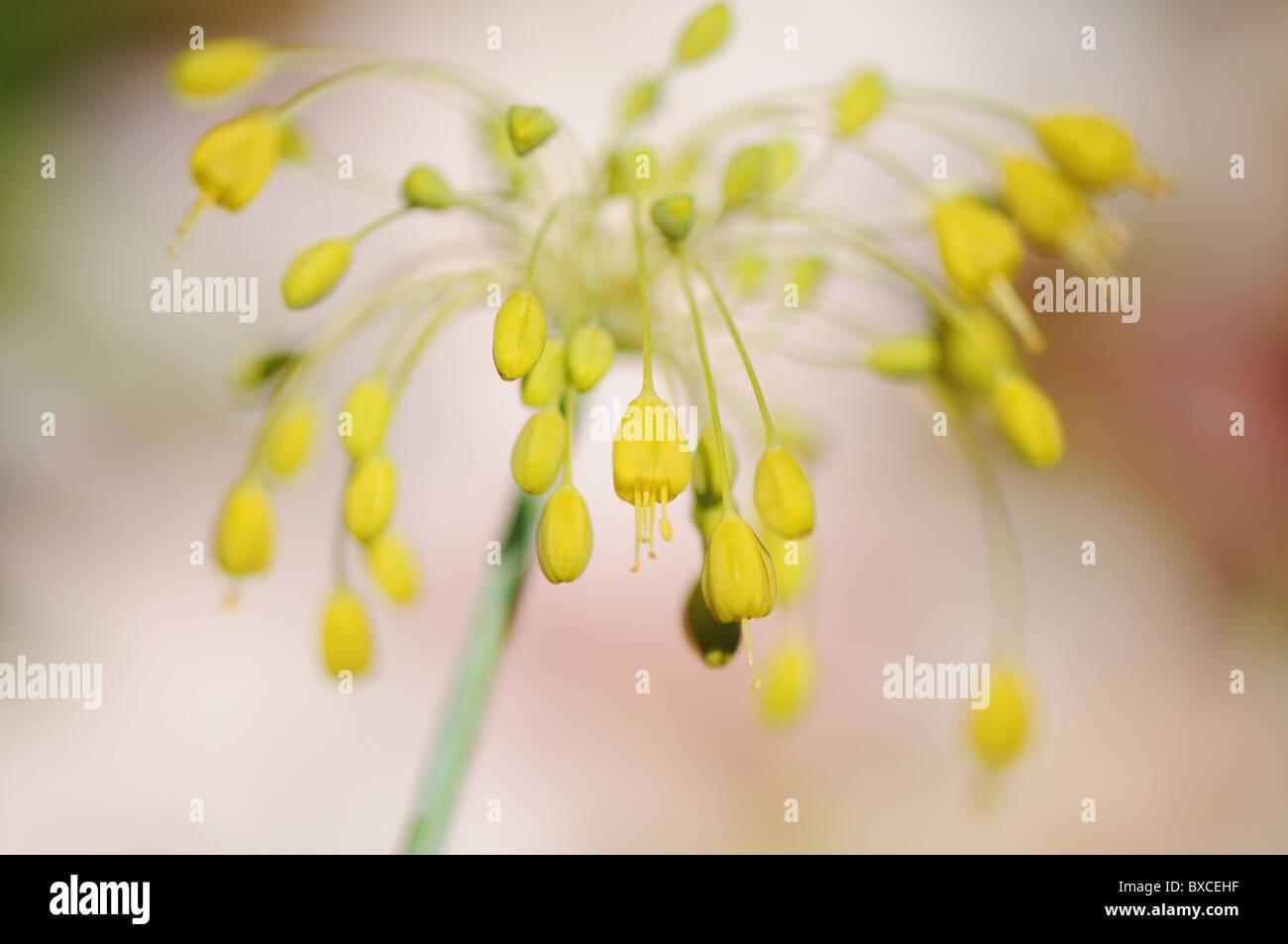 Allium Flavum - yellow onion flower - Stock Image