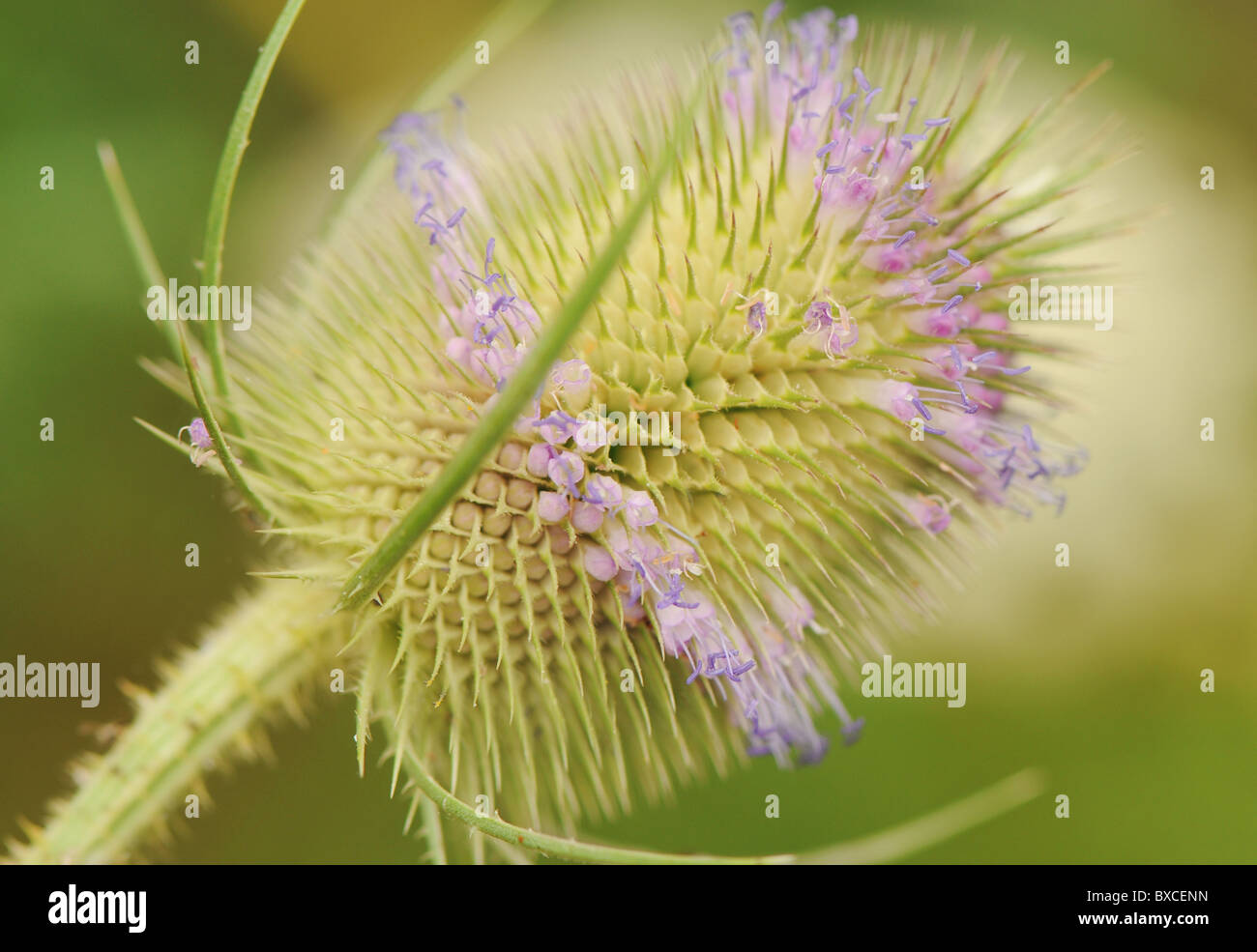 A single Teasel Flower head - Dipsacus fullonum - Stock Image