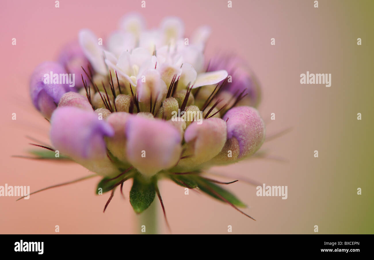 A Scabious Flower bud opening - Scabiosa - Pincushion flower - Stock Image