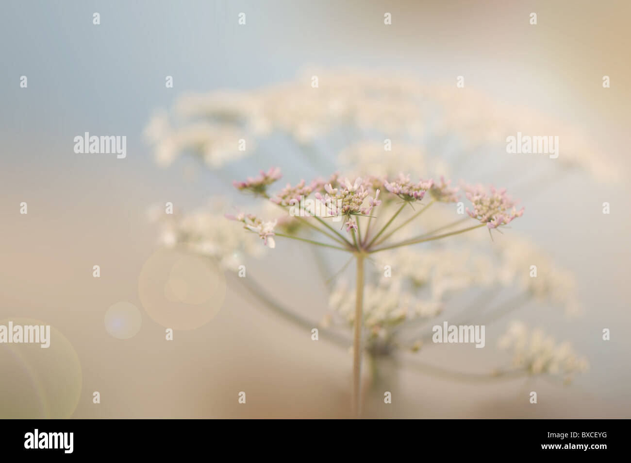 Anthriscus sylvestris - Cow Parsley or Queen Anne's lace  flowers with Sun Flare / Lens Flare - Stock Image