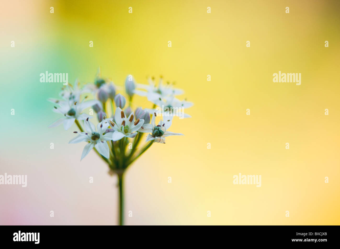 Allium ursinum - White Wild Garlic flowers - Stock Image