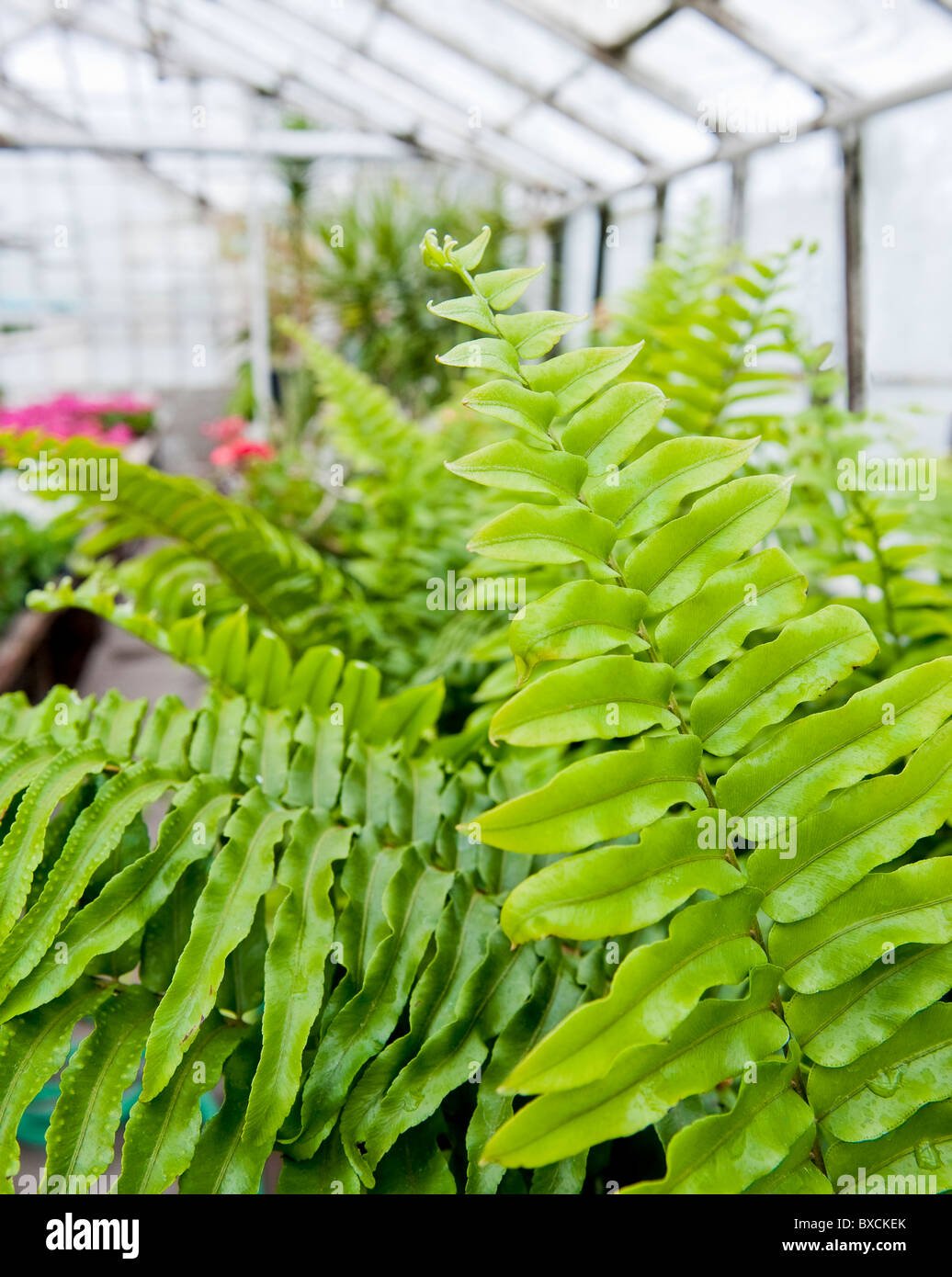 Ferns in a public park greenhouse - Stock Image