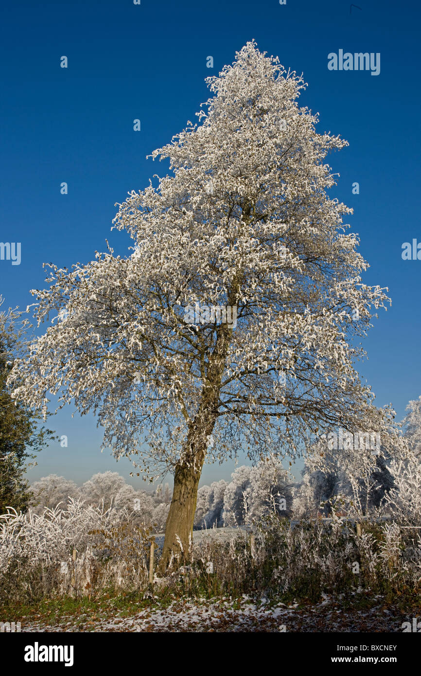 Hoarfrost on trees - United Kingdom Stock Photo