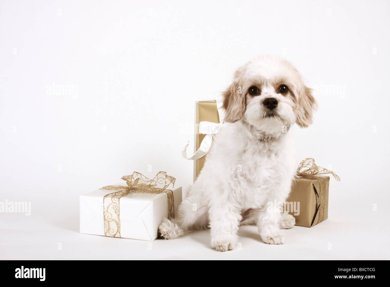 Giving Holidays Gifts To Your Dog Stock Photos & Giving Holidays ...