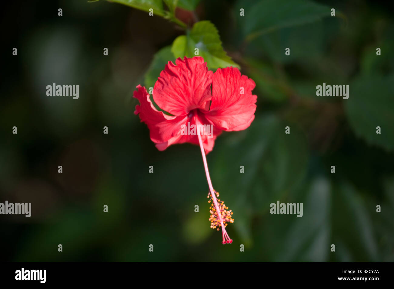 Hibiscus flower in forests of Costa Rica - Stock Image