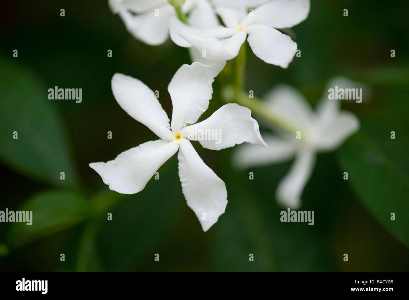 White Jasmine flower blossoms - Stock Image