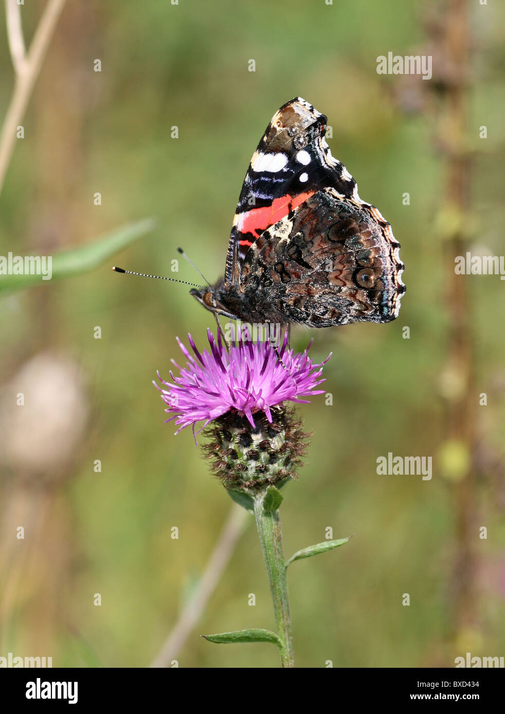 close up of a Red Admiral (Vanessa atalanta) butterfly on a pink or purple flower, Common Knapweed (Centaurea nigra) Stock Photo