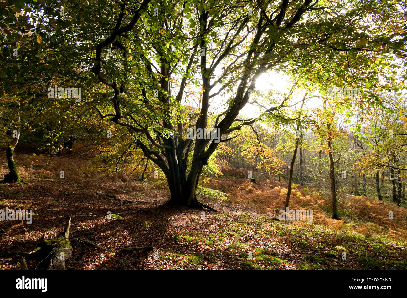 Beech Tree in Autumn Colour - Stock Image