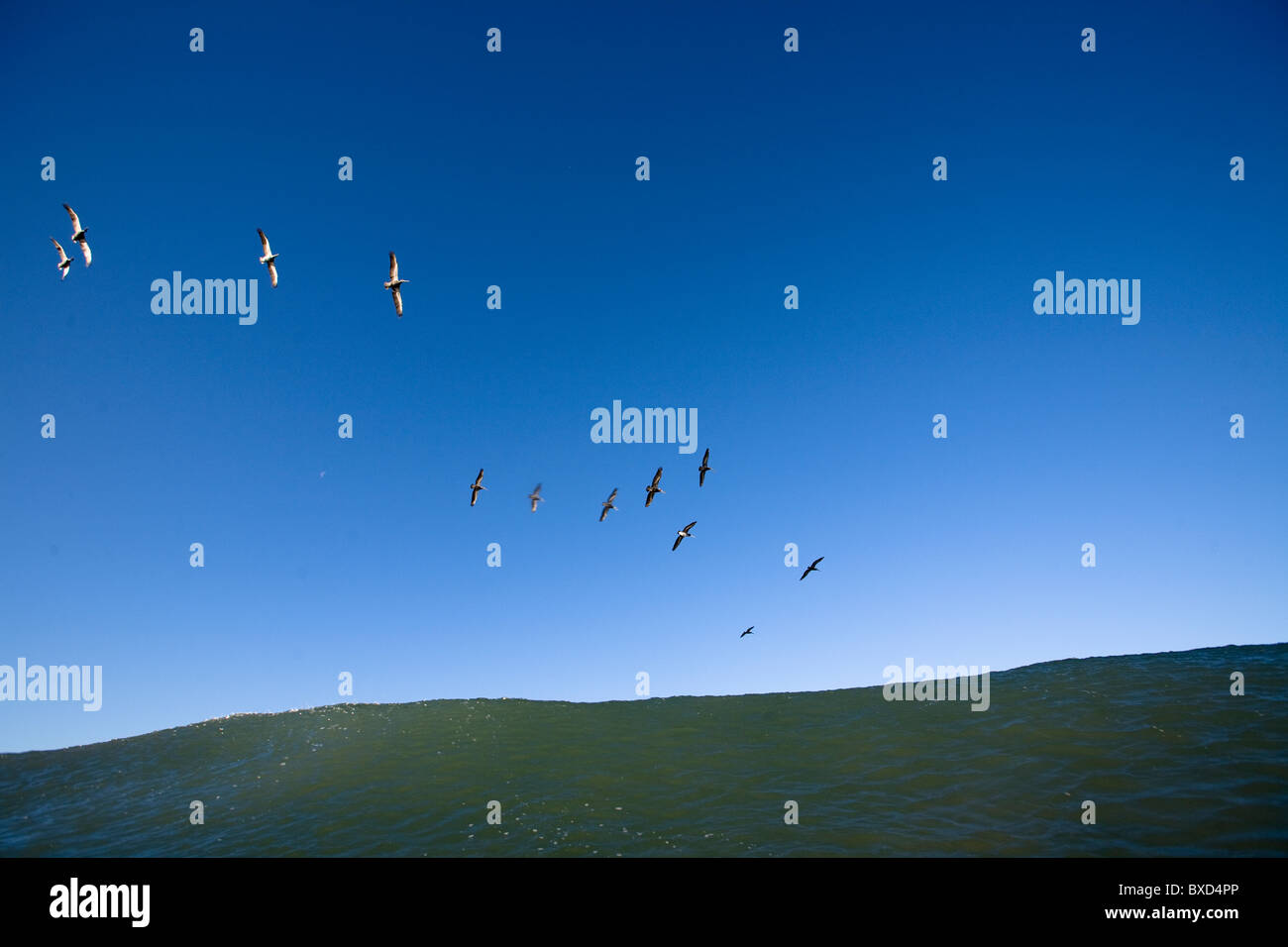 A flock of pelicans fly over a wave. - Stock Image