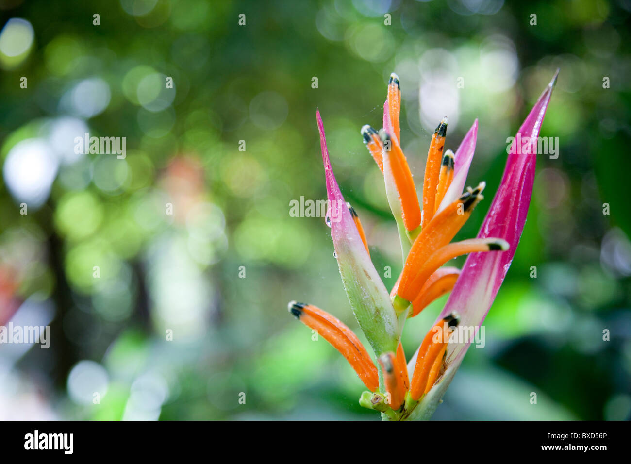 A heleconia plant at Turtle Bay. - Stock Image