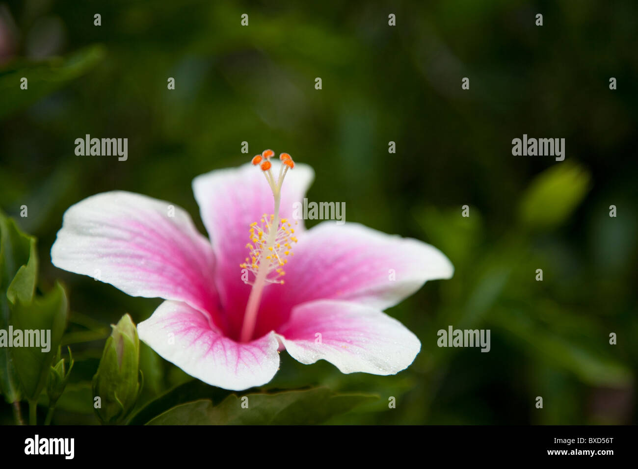 A pink hibiscus flower. - Stock Image