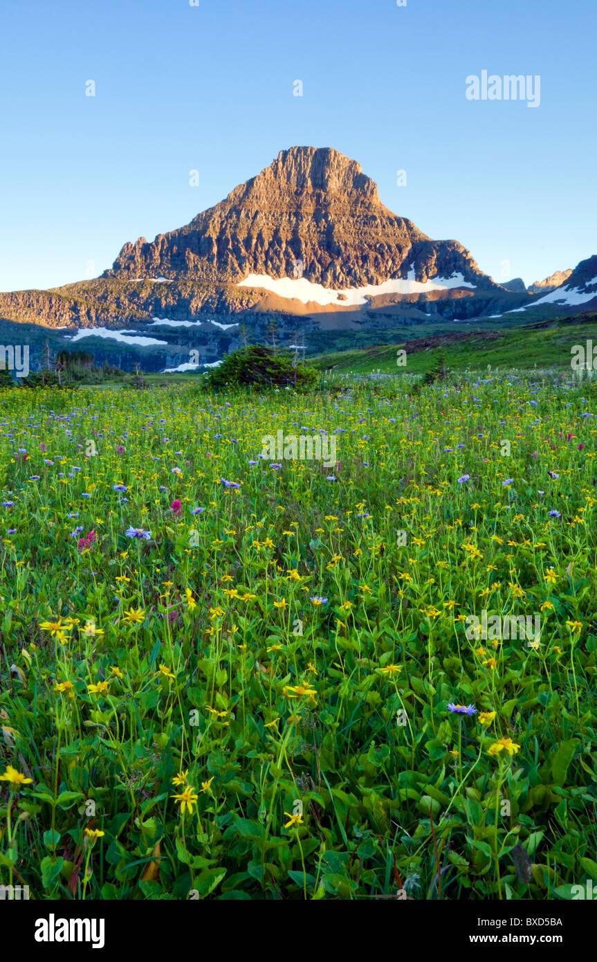 A field of wildflowers grow beneath Reynolds Mountain in Glacier National Park, Montana. - Stock Image