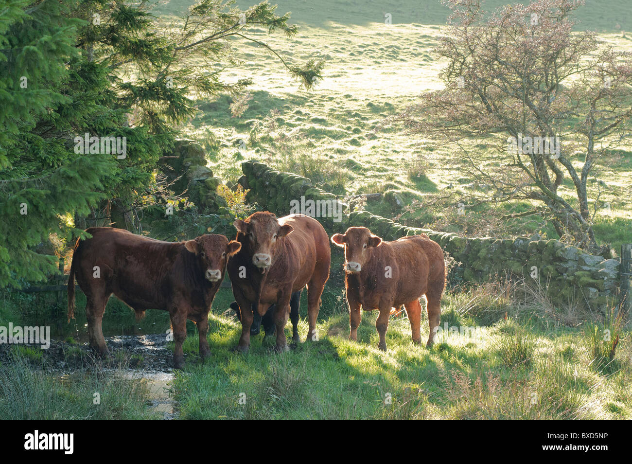 Limousine bull and 2 bullocks in corner of a galloway field - Stock Image