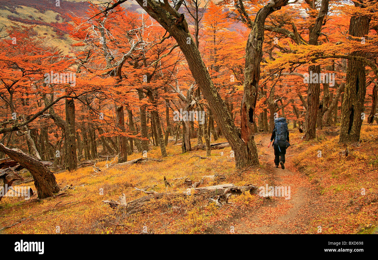 Backpacker in autumn Lenga forests in Los Glaciares National Park, Patagonia, Argentina - Stock Image