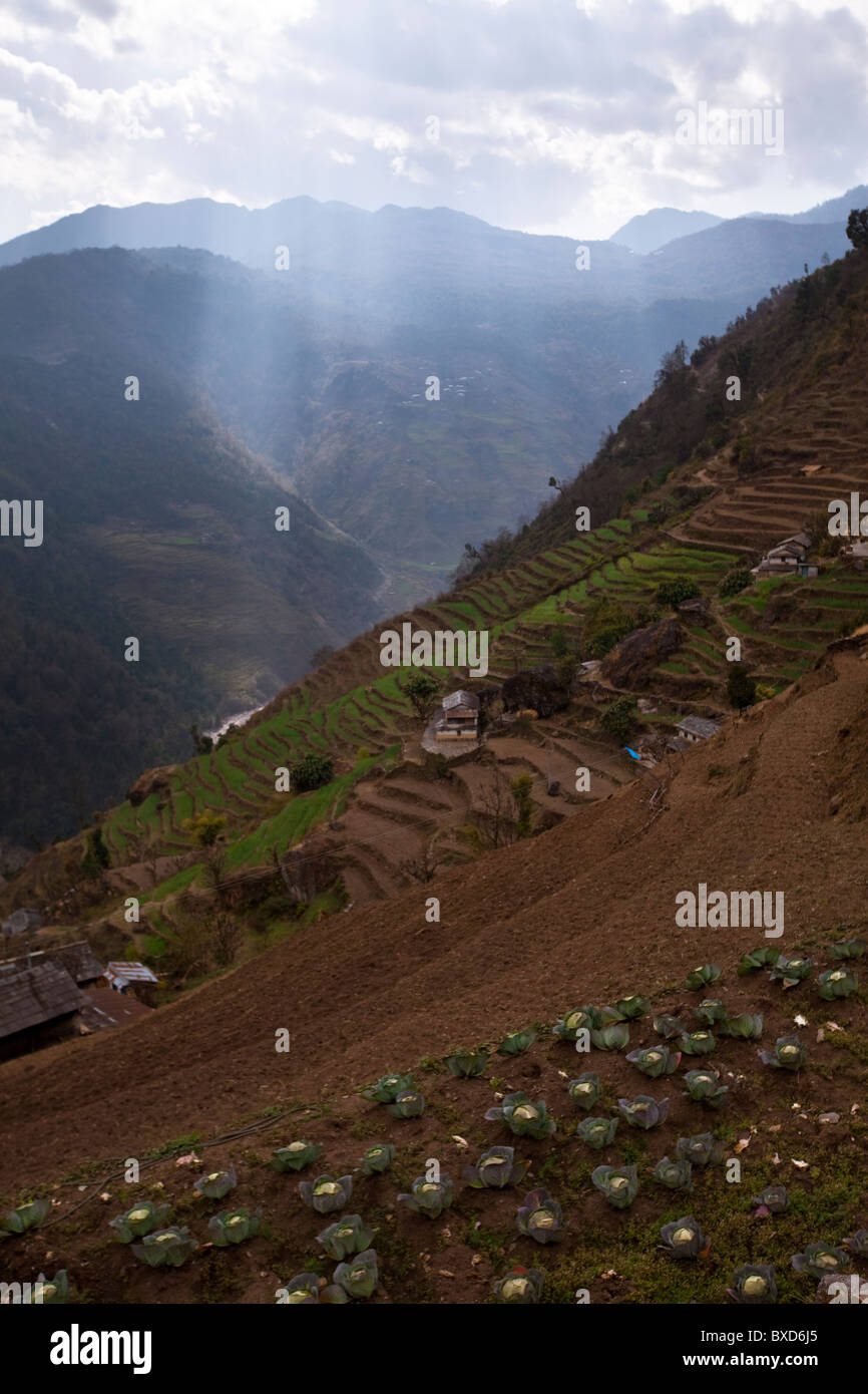 Cabbages patches mark the upper terraces of a village in Nepal. - Stock Image
