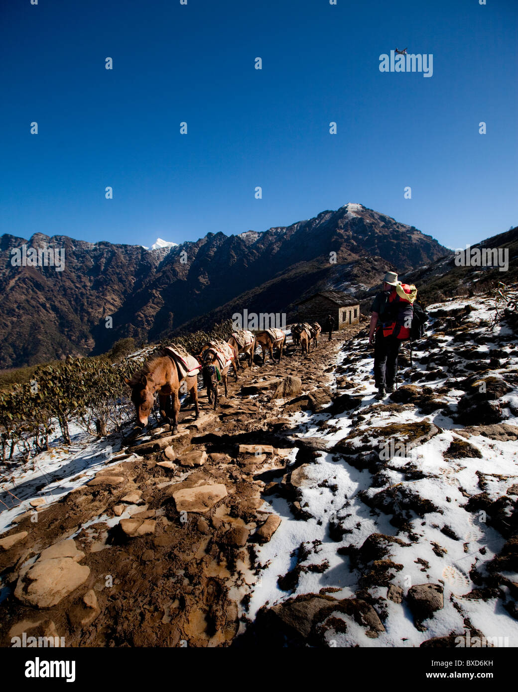 A trekker steps off the side of the trail to allow a mule train to pass. - Stock Image