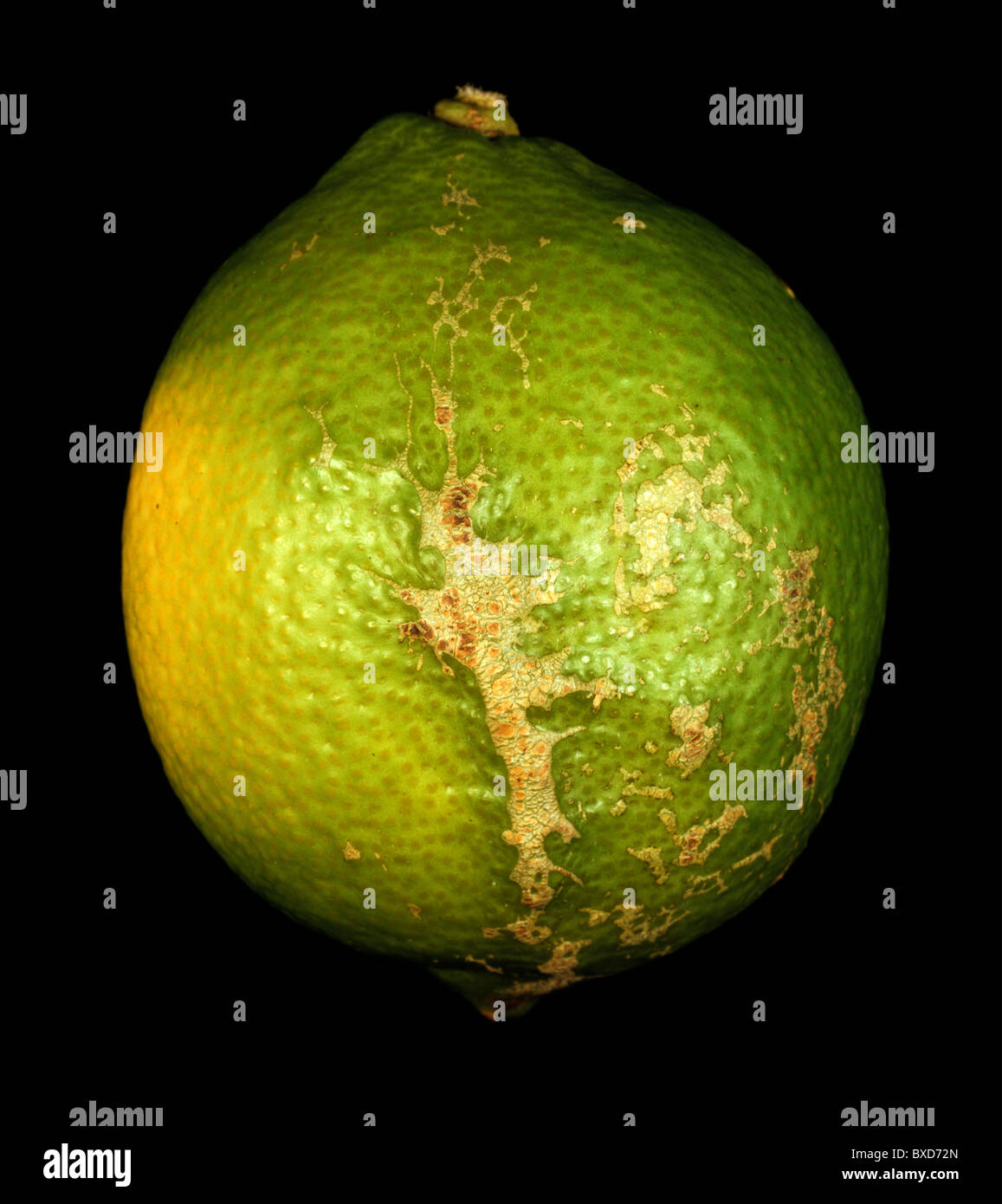 Wind scarring on lemon skin - fruit damage on the tree Stock Photo